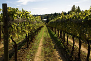 Vinery Photos - Vineyard On A Sunny Day by Anna Kosenko