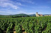 Viticulture Framed Prints - Vineyard. Regnie-Durette. Beaujolais wine growing area. Departement Rhone. Region Rhone-Alpes. Franc Framed Print by Bernard Jaubert