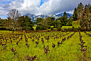 Wine Country Framed Prints - Vineyards and Mt St. Helena Framed Print by Garry Gay