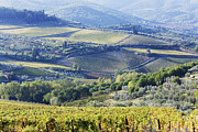 Chianti Vines Photo Framed Prints - Vineyards and Olive Groves Framed Print by Jeremy Woodhouse