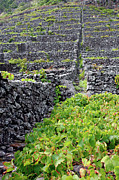 Cultivation Posters - Vineyards in Azores islands Poster by Gaspar Avila