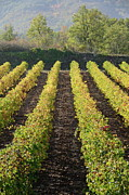 Winemaking Posters - Vineyards with fall foliage Poster by Sami Sarkis