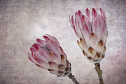 Red Wallpaper Framed Prints - Vintage proteas Framed Print by Jane Rix