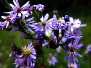 Violet Framed Prints - Violet Wild Aster Framed Print by Scott Hovind