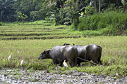 Horns Photos - Water buffalo by Jane Rix