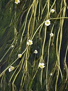 River Avon Posters - Water Crowfoot (ranunculus Species) Poster by Adrian Bicker