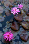 Floating In Water Prints - Water Lillies Print by Sami Sarkis