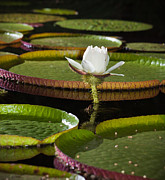 Water Lily Print by Johan Larson