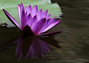 Magenta Framed Prints - Water Lily Reflected Framed Print by Sabrina L Ryan