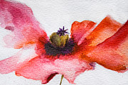 Textured Floral Painting Framed Prints - Watercolor Poppy flower Framed Print by Regina Jershova