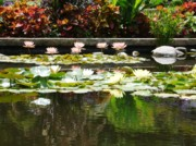 Gonca Yengin Prints - Waterlily Print by Gonca Yengin