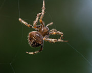 Arachnid Framed Prints - Web designer Framed Print by Carl Jackson