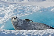Weddell Seal Print by Raymond Uzanas