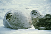 Predatory Animals Framed Prints - Weddell Seals Framed Print by Doug Allan