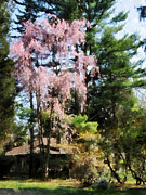 Flowering Tree Posters - Weeping Cherry Poster by Susan Savad