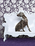 High Society Prints - Weimaraner (canis Lupus Familiaris) On Couch Print by Catherine Ledner