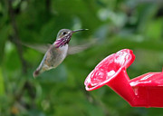 Hummingbird In Flight Posters - Welcome to the Garden Poster by Carol Groenen