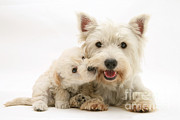 White Terrier Art - West Highland Terrier And Woodle Puppy by Jane Burton