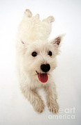 West Highland Terriers Posters - West Highland White Terrier Poster by Jane Burton