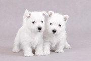 West Highland White Terrier Puppies Print by Waldek Dabrowski