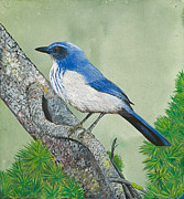Scrub Jay Paintings - Western Scrub Jay by Marsha Friedman