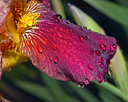 Susan Leggett Art - Wet Lily by Susan Leggett
