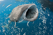 Whale Shark Metal Prints - Whale Shark Feeding Cenderawasih Bay Metal Print by Reinhard Dirscherl