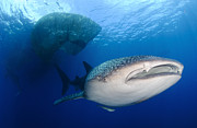 Whale Shark Metal Prints - Whale Shark Feeding Under Fishing Metal Print by Steve Jones