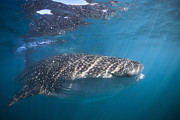 La Paz Prints - Whale Shark, La Paz, Mexico Print by Todd Winner