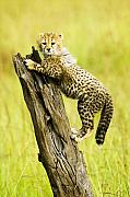 Cheetah Photos - What a Cutie by Michele Burgess