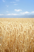 Western Cape Framed Prints - Wheat Field Framed Print by Neil Overy