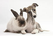 House Pets Posters - Whippet Pup With Colorpoint Rabbit Poster by Mark Taylor