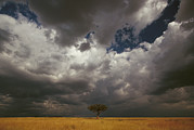 Masai Mara Prints - Whistling Thorn Acacia Drepanolobium Print by Gerry Ellis