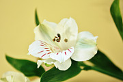 Lily Flowers - White Alstroemeria by Cathie Tyler