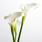 Blooms Art - White arums by Bernard Jaubert