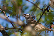 Randy Bayne - White-Crowned Sparrow