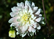 Dahlias - White Dahlia by Cathie Tyler