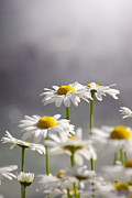 Soft Yellow Prints - White Daisies Print by Carlos Caetano