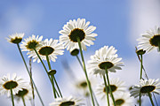 Flower Blooming Photos - White daisies by Elena Elisseeva