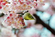 Cherry Prints - White-eye And Cherry Blossoms Print by I love Photo and Apple.