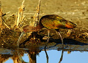 Shorebird Photos - White Faced Ibis by Robert Frederick