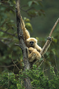 Two Handed Framed Prints - White-handed Gibbon Hylobates Lar Framed Print by Gerry Ellis