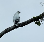 Birdwatcher Originals - White Hawk of Costa Rica by William Patterson