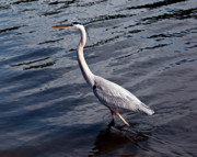 White Morph Prints - White Morph Great Blue Heron - Ardea herodias occidentalis Print by Allan  Hughes