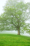 Fog Mist Prints - White Oak Tree in Fog Print by Thomas R Fletcher