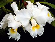 Jungle Beauty Art - White Orchids by Mindy Newman