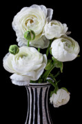 White Flower Photos - White ranunculus in black and white vase by Garry Gay