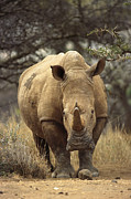 Rhinoceros Framed Prints - White Rhinoceros Ceratotherium Simum Framed Print by Gerry Ellis