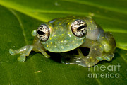 Featured Art - White Spotted Glass Frog by Dante Fenolio