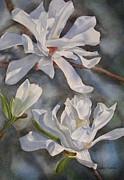 Sharon Freeman - White Star Magnolia Blossoms